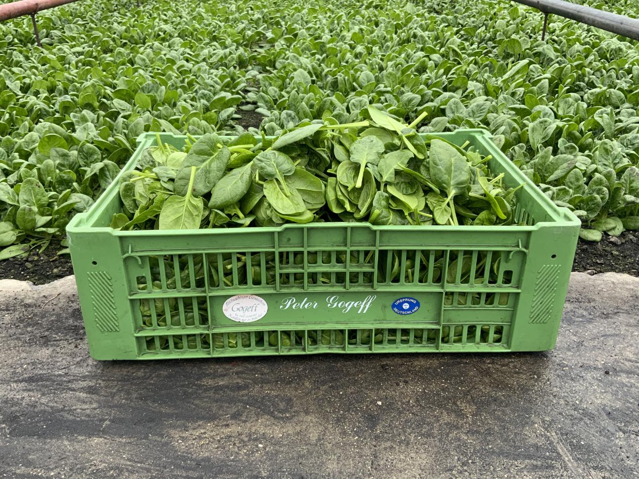 Spinat Salat